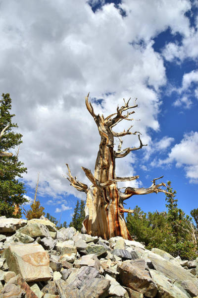 Photograph - King Of The Bristlecones II by Ray Mathis