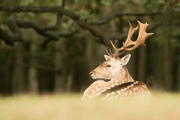 Dama Dama Photograph - King Of The Forest _ Fallow Deer Buck by Roeselien Raimond