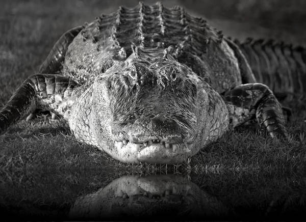 American Crocodile Photograph - King Of The Glades by Mark Andrew Thomas