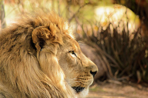 Photograph - King Of The Jungle by Emily Bristor