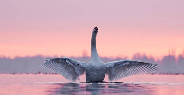 Mute Swan Photograph - King Of The Water And The Sunset  by Roeselien Raimond