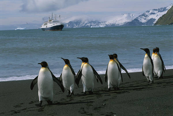 King Harbor Photograph - King Penguins And Cruise Ship Lindblad by Gordon Wiltsie