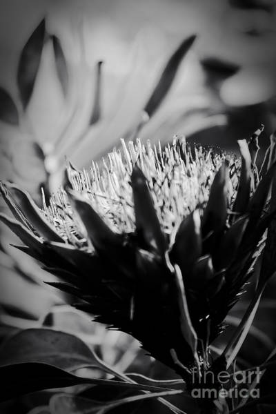 Photograph - King Protea Exotic Tropical Flowers by Sharon Mau