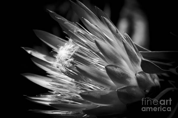 Proteaceae Photograph - King Protea - Protea Cynaroides - Maui Tropicals Hawaii by Sharon Mau