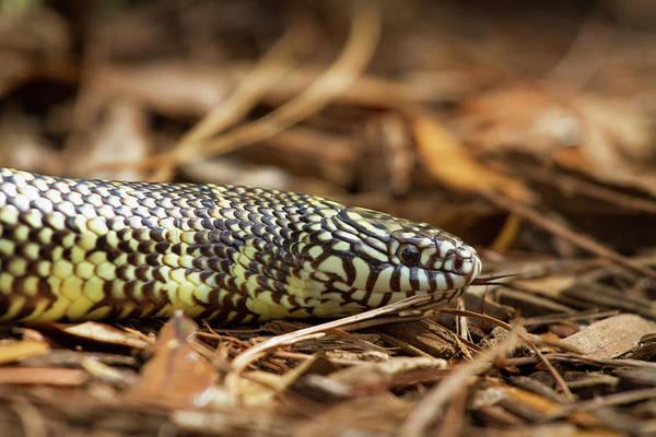 Photograph - King Snake 1 by Arthur Dodd