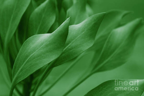 Photograph - King Sugar Bush - King Protea - Leaves Green by Sharon Mau