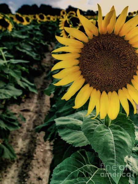 Photograph - King Sunflower From Long Island, New York by Alissa Beth Photography
