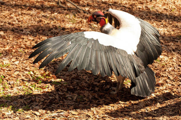 Photograph - King Vulture 3 Strutting by Chris Flees