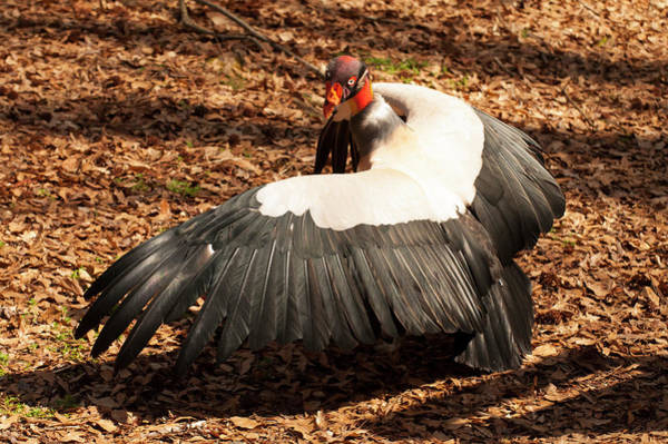Photograph - King Vulture 4 Strutting by Chris Flees