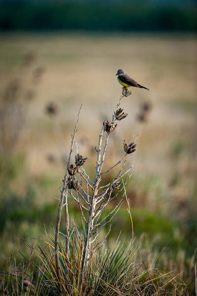 Photograph - Kingbird On Yucca by Jeff Phillippi