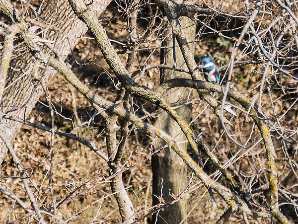 Photograph - Kingfisher Hunting by Edward Peterson