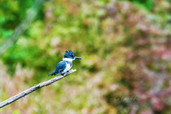 Photograph - Kingfisher Perched by Edward Peterson