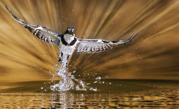 Bird In Flight Digital Art - Kingfisher Rise by Basie Van Zyl