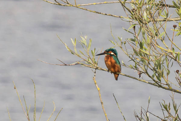 Photograph - Kingfisher Waiting by Wendy Cooper