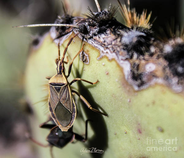 Photograph - Kissing Bug Cactus by Adam Morsa