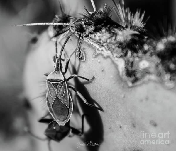 Photograph - Kissing Bug Cactus, Black And White by Adam Morsa