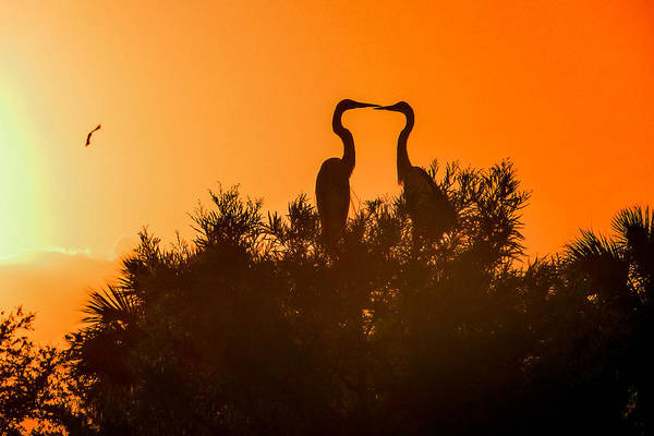 Photograph - Kissing Herons  by NaturesPix