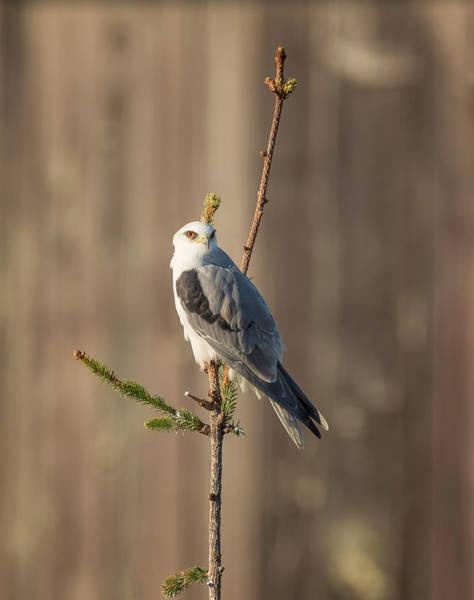 White-tailed Kite Photograph - Kite And Barn by Loree Johnson