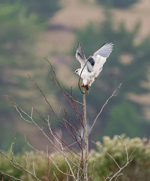 White-tailed Kite Photograph - Kite And Mouse by Loree Johnson