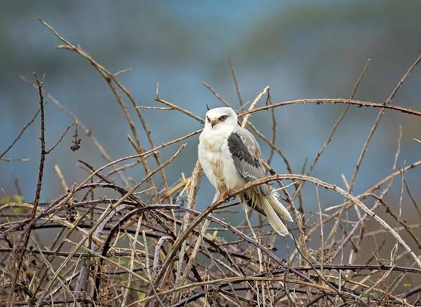 White-tailed Kite Photograph - Kite In The Brambles by Loree Johnson