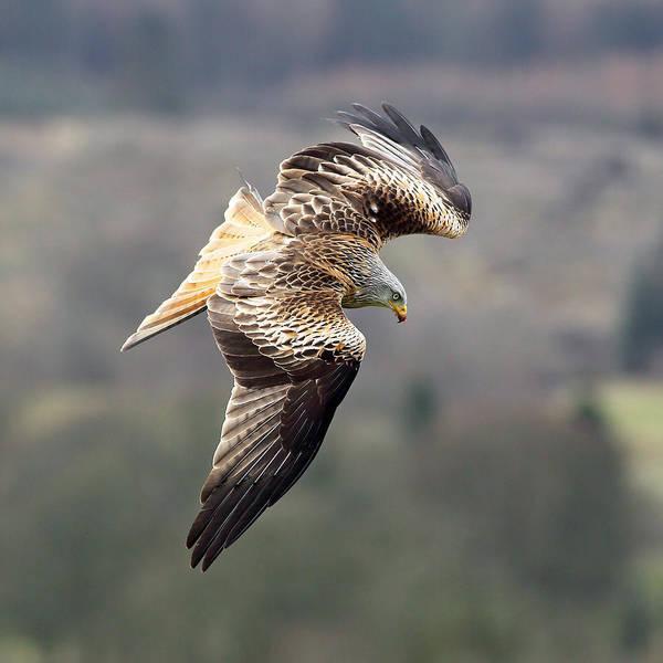 Photograph - Kite Soaring by Grant Glendinning