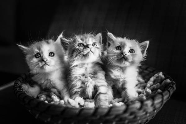 Kitten Trio Art Print