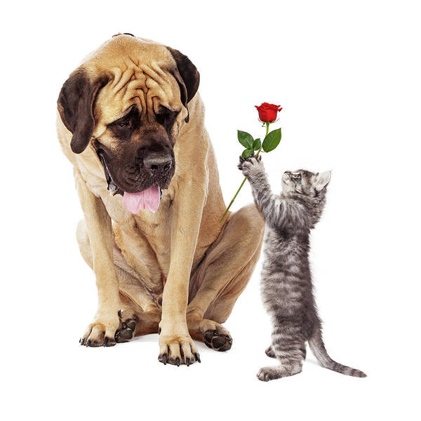 Wall Art - Photograph - Kitten Handing Big Dog A Rose Flower by Susan Schmitz