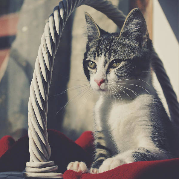 Wall Art - Photograph - Kitten In A Basket by Wolf Shadow Photography