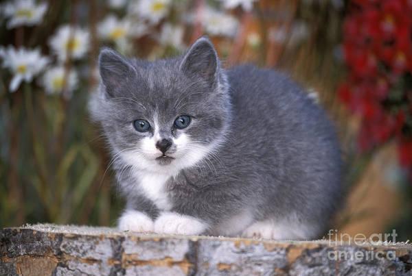 Photograph - Kitten On Tree Stump by Rolf Kopfle