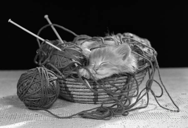 Photograph - Kitten Sleeping In Basket Of Yarn by H Armstrong Roberts ClassicStock