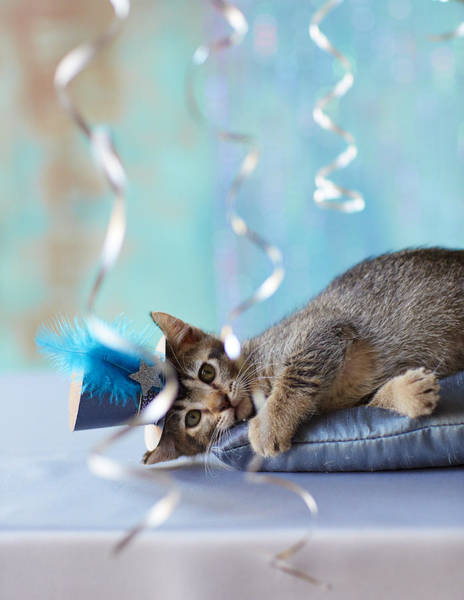 Down Feather Photograph - Kitten Wearing A Party Hat Lying by Gillham Studios