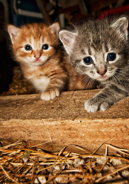Photograph - Kittens by Amber Flowers