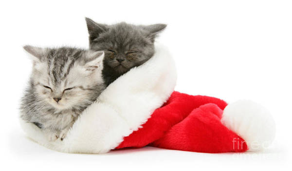 Photograph - Kittens Asleep In A Santa Hat by Warren Photographic
