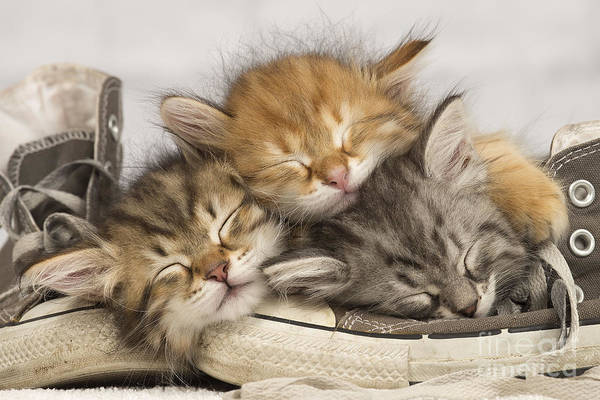 Photograph - Kittens Asleep On Shoes by Jean-Michel Labat