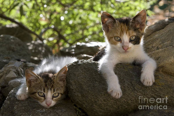 Laying Out Photograph - Kittens On A Wall by Jean-Louis Klein & Marie-Luce Hubert