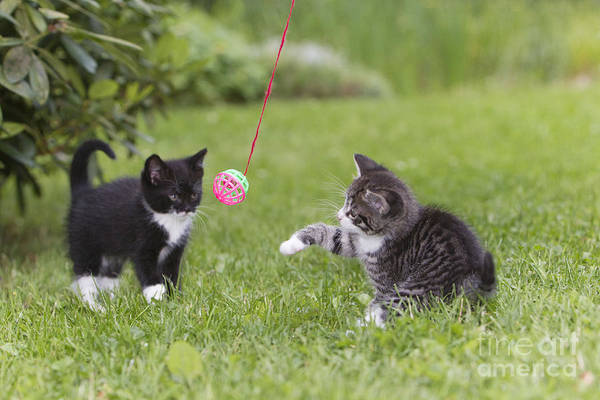 Photograph - Kittens Playing by Duncan Usher