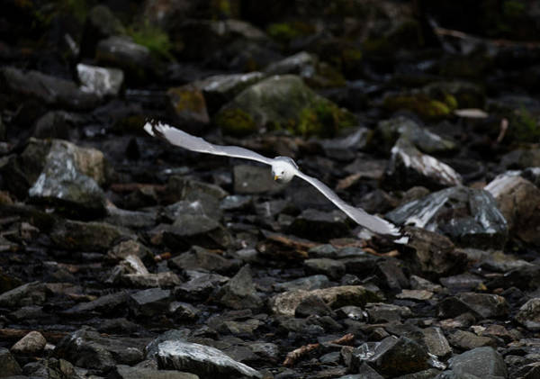 Photograph - Kittiwake By The Rocks by Gloria Anderson