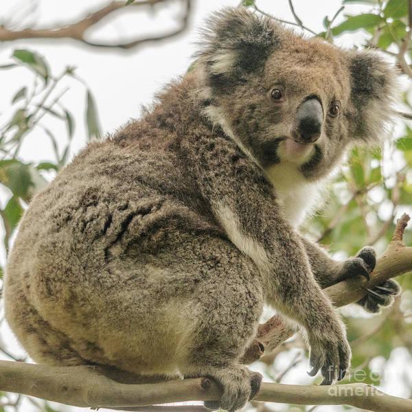 Photograph - Koala 1 by Werner Padarin