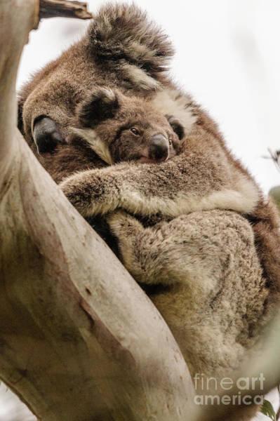 Photograph - Koala 6 by Werner Padarin