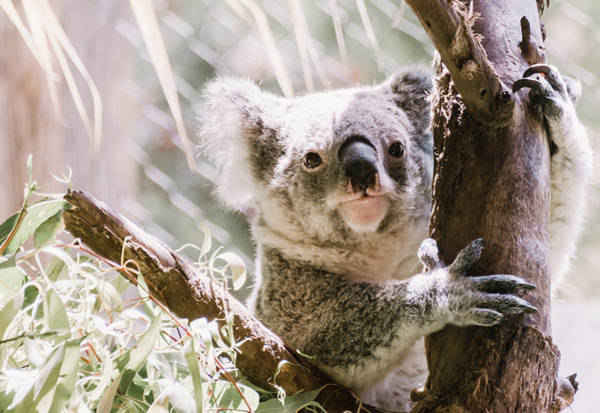 Photograph - Koala Bear by Andrea Anderegg