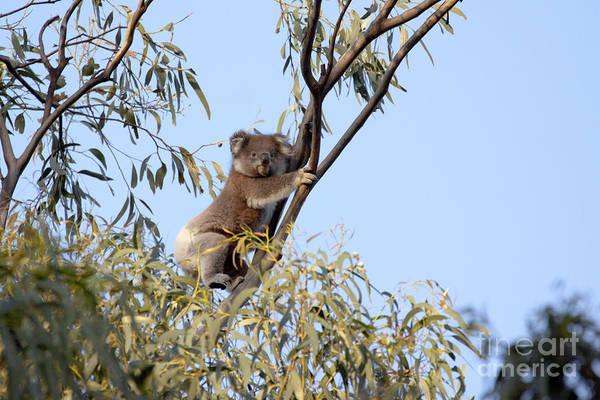 Photograph - Koala by Karen Van Der Zijden