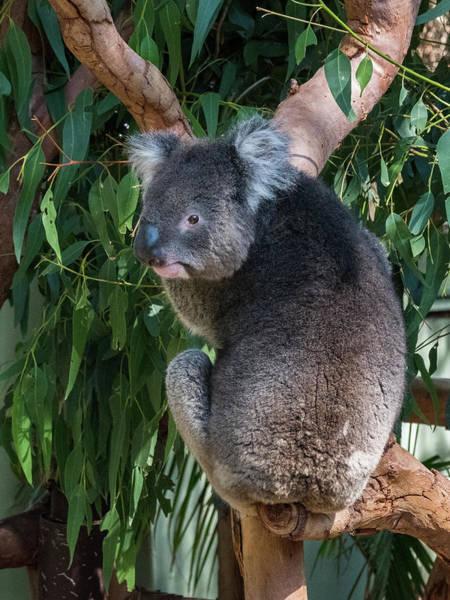 Photograph - Koala by Walt Sterneman