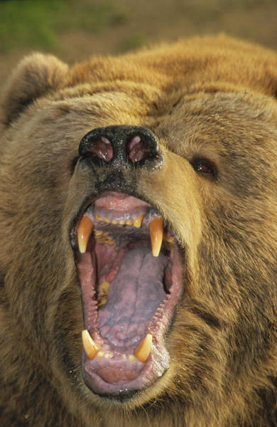 Growling Wall Art - Photograph - Kodiak Bear Ursus Arctos Middendorffi by Matthias Breiter