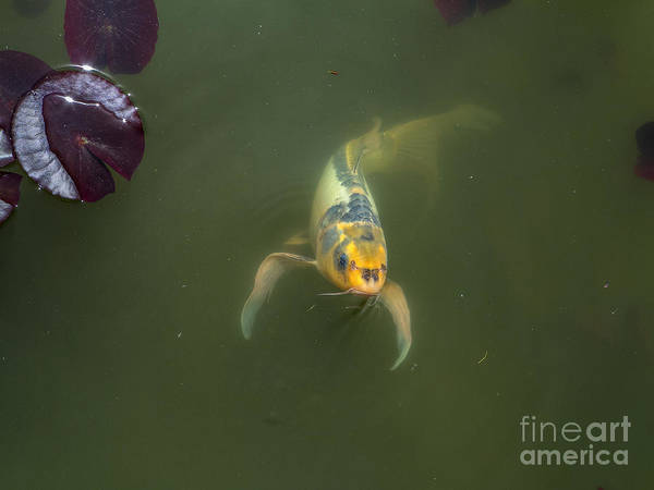 Photograph - Koi 2 by Spencer Baugh