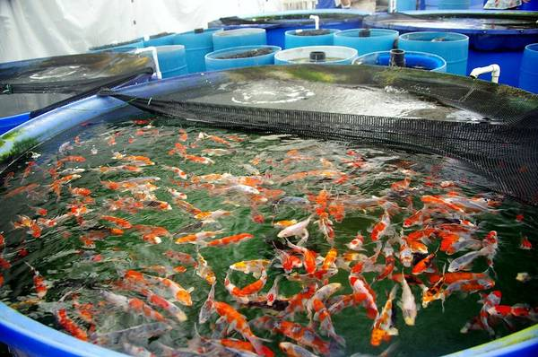 Photograph - Koi-buying Trip 2 by Phyllis Spoor