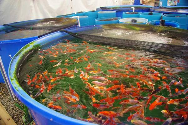 Photograph - Koi Buying Trip 6 by Phyllis Spoor