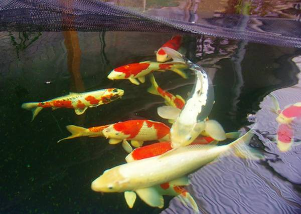 Photograph - Koi Buying Trip 9 by Phyllis Spoor