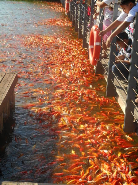 Photograph - Koi Fishes In Feeding Frenzy Part Two by Christopher Shellhammer