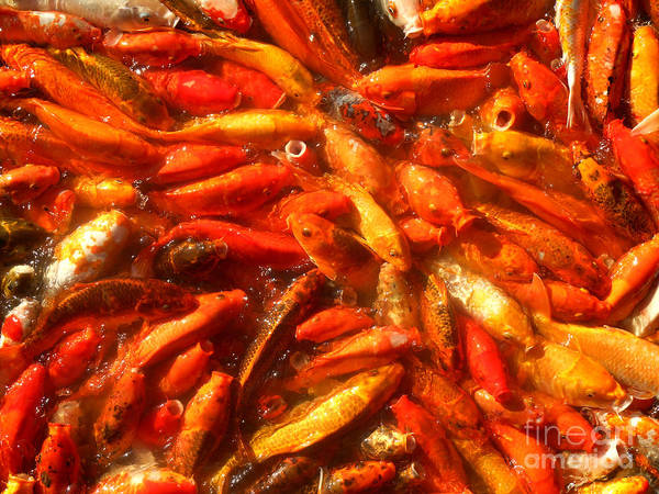 Photograph - Koi Fishes Feeding Frenzy Number Two by Christopher Shellhammer