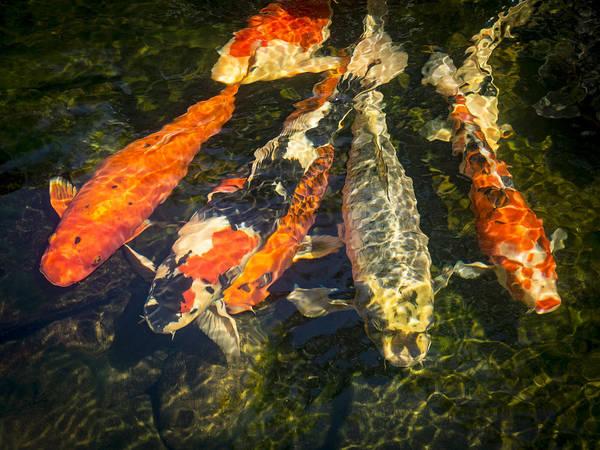 Ornamental Fish Photograph - Koi Lineup by Jean Noren